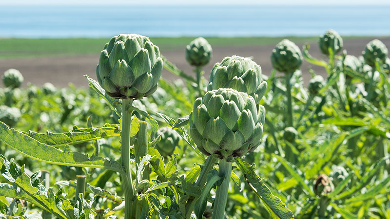 Growing Artichokes Learn How to Plant, Grow \u0026 Care for
