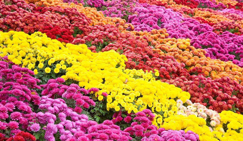 Growing Chrysanthemum