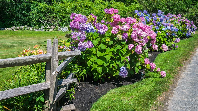 Hydrangea Care: How to Plant, Grow & Care for Hydrangeas