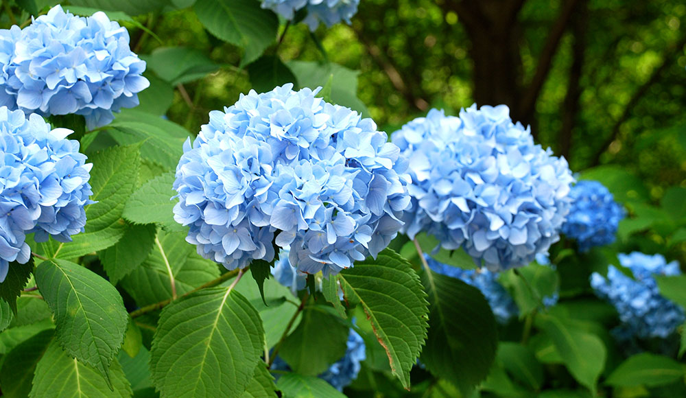 Hydrangea Care How To Plant Grow Care For Hydrangeas